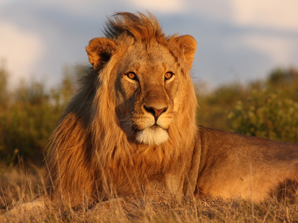 Best Wild Lion Wallpaper HD