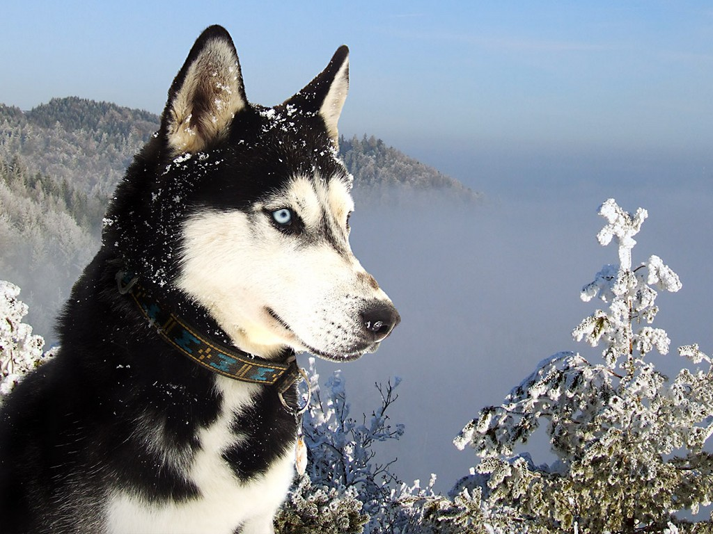 Black Siberian Husky Wallpaper PC
