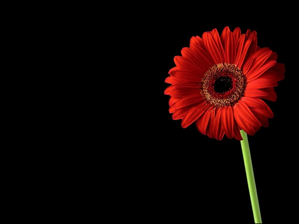 Red on Black Gerbera Flower Wallpaper