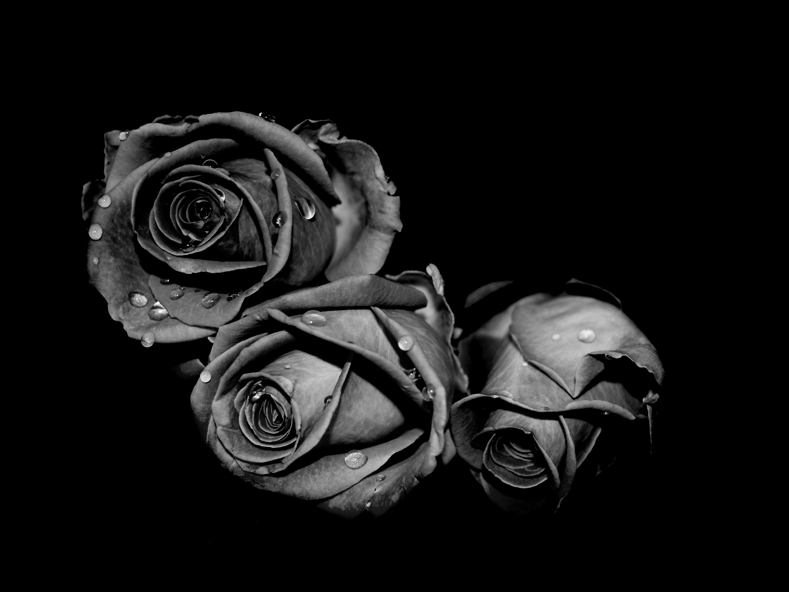 Three Black Rose Flowers Wallpaper Desktop