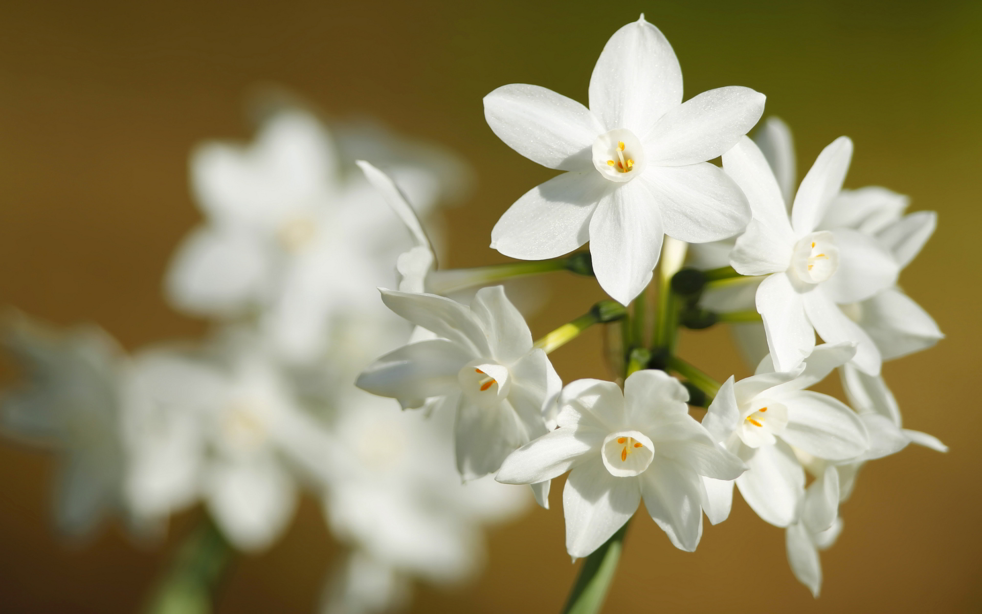 Awesome Narcissus Flower Wallpaper Desktop