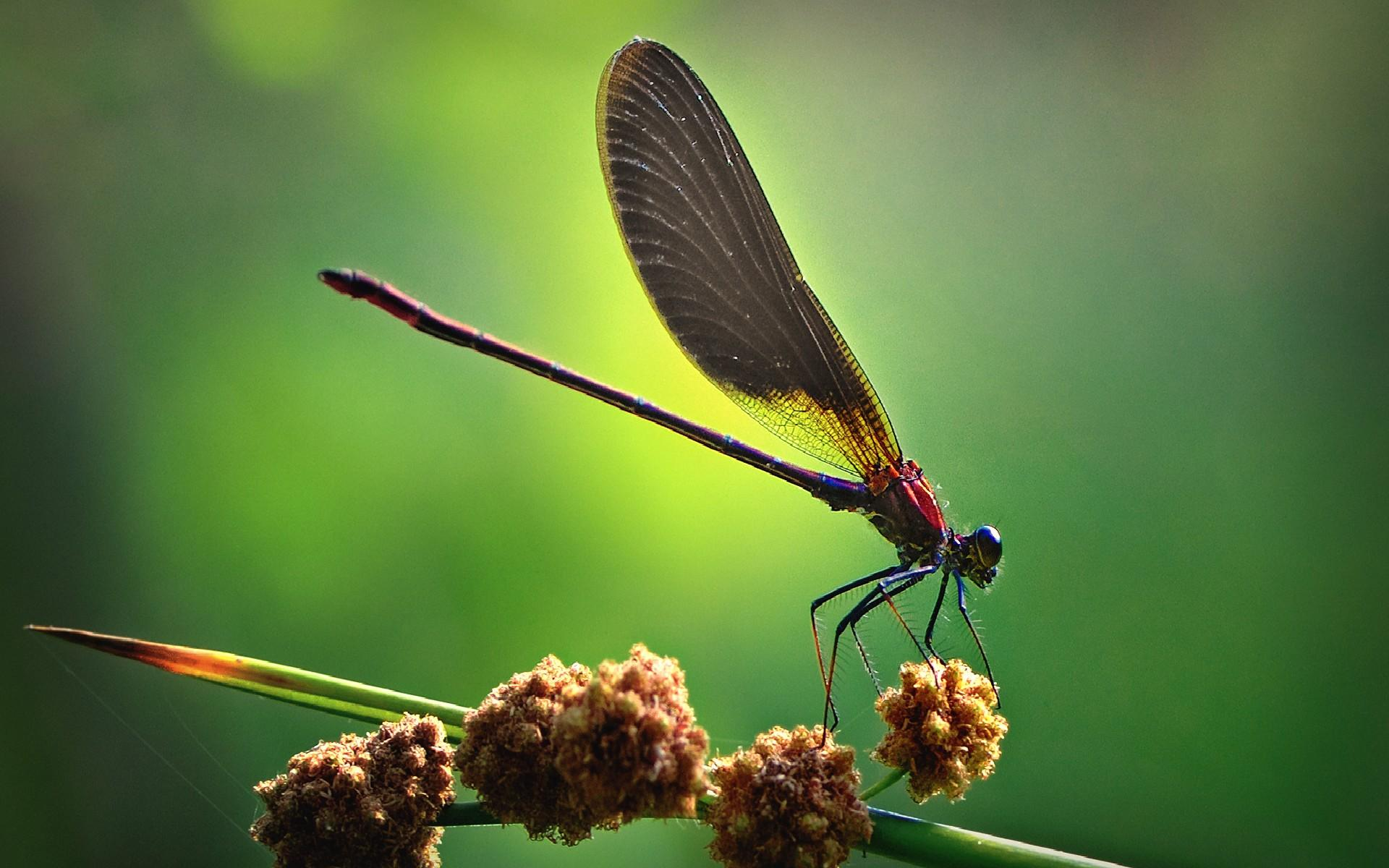 Best Macro Dragonfly Wallpaper
