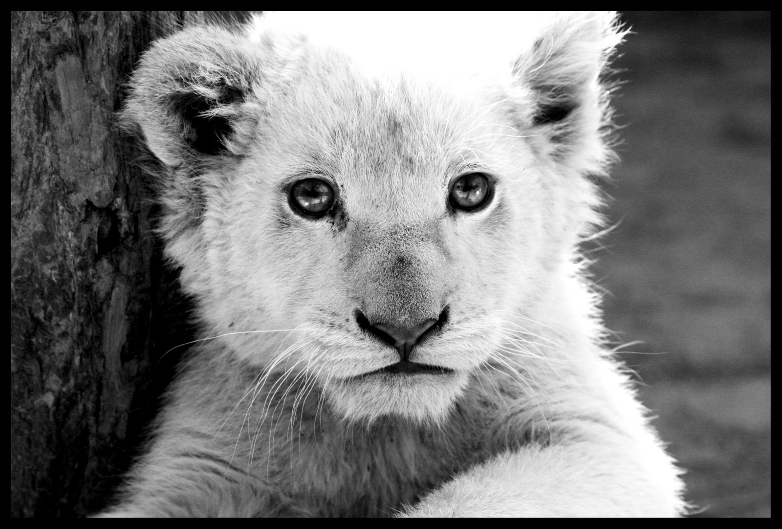 Cute White Baby Lion Wallpaper HD