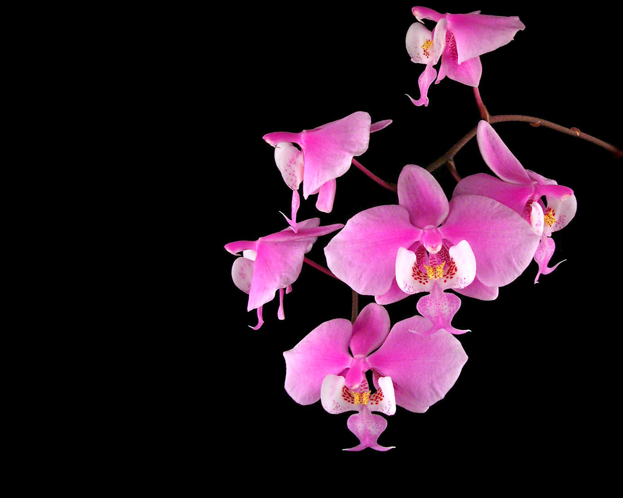 Pink Orchid Flower Wallpaper Widescreen