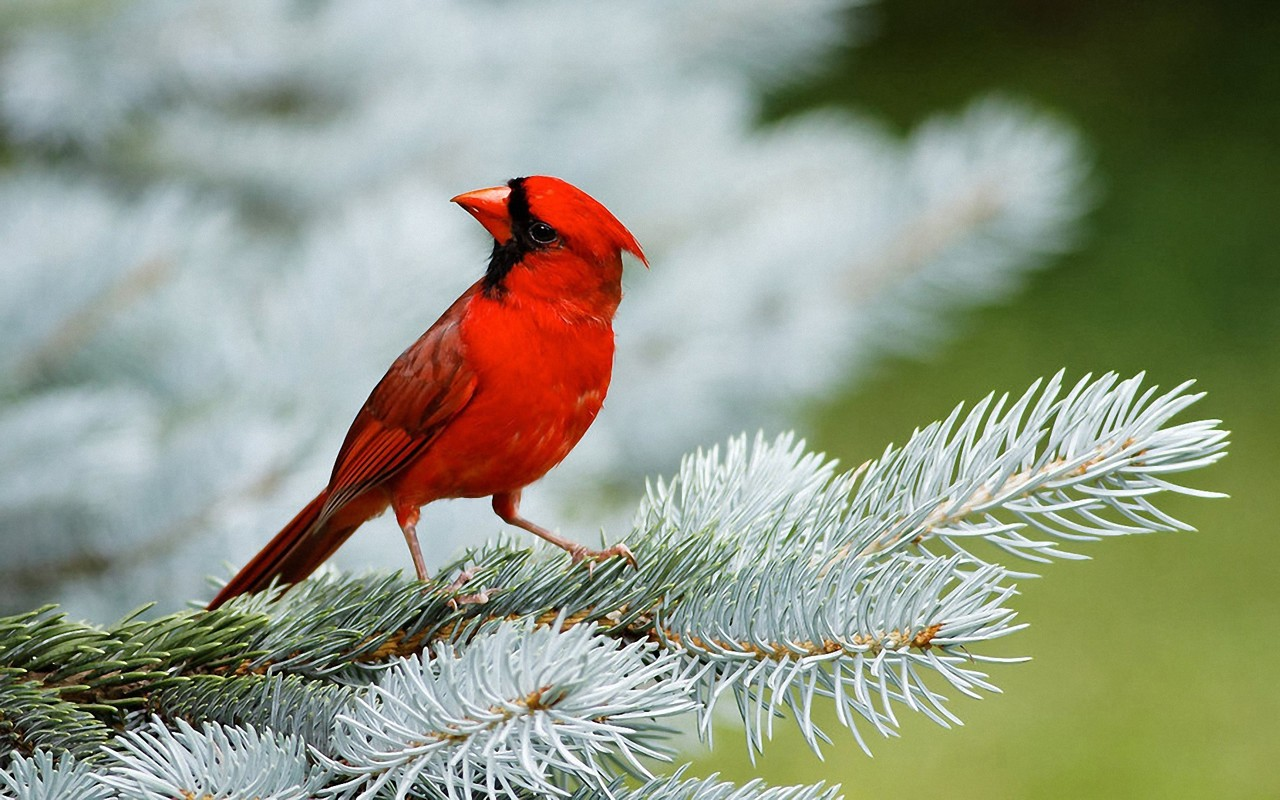 Red Little Bird Wallpaper Desktop Wallpaper