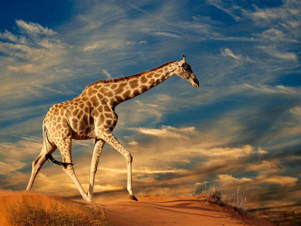Best Giraffe Wallpaper Android