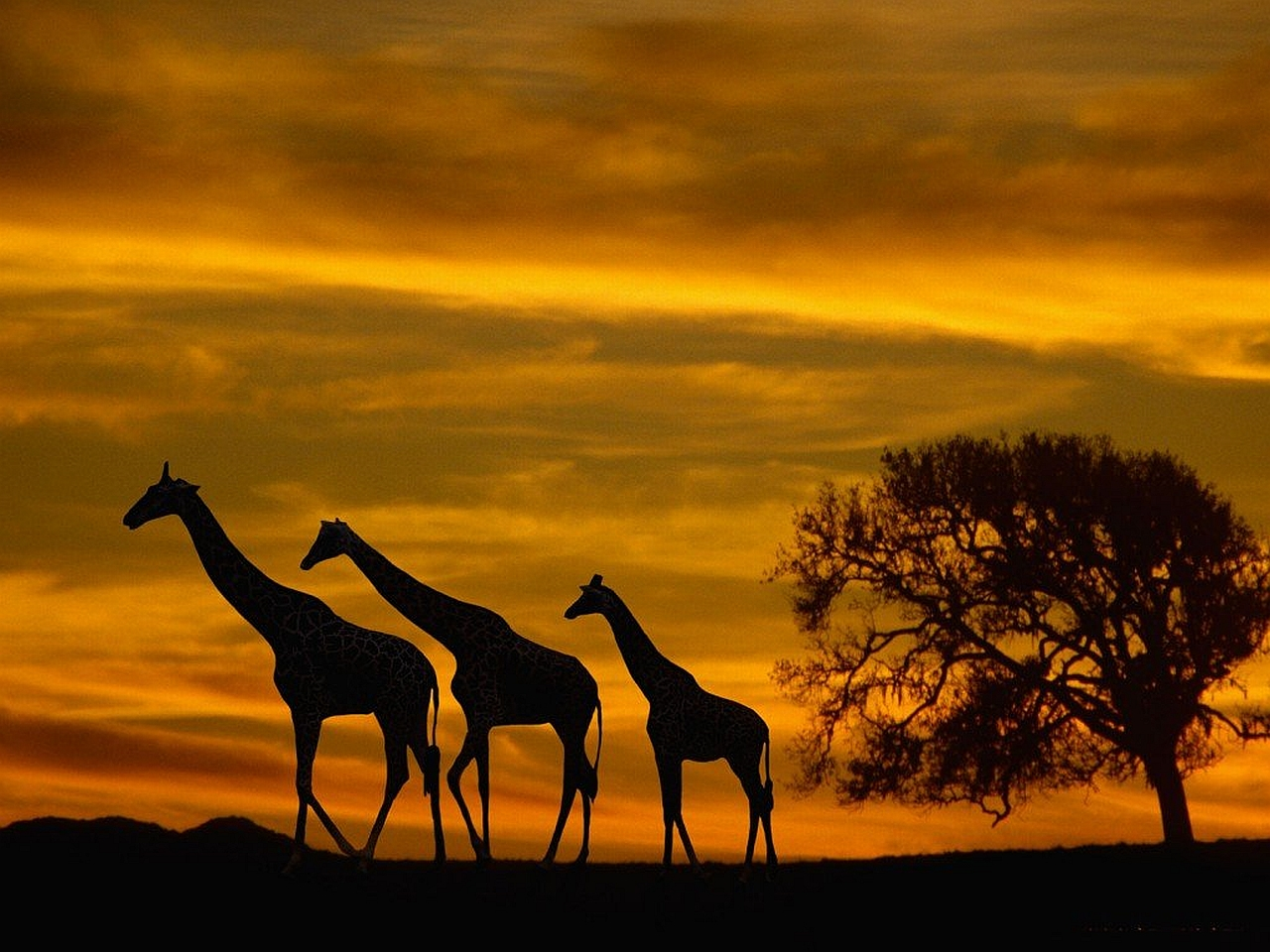 Silhouette Giraffe Wallpaper Photos