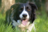 Awesome Border Collie Wallpaper PC