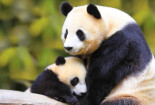 Baby Panda With Mother Wallpaper Android