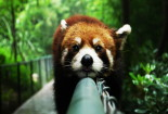 Funny Red Panda Wallpaper iPhone