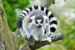 Cute Lemur Wallpaper for iPhone