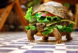 Burger Turtle, Funny, HD Picture