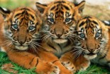 Three Baby, Animals, Tiger
