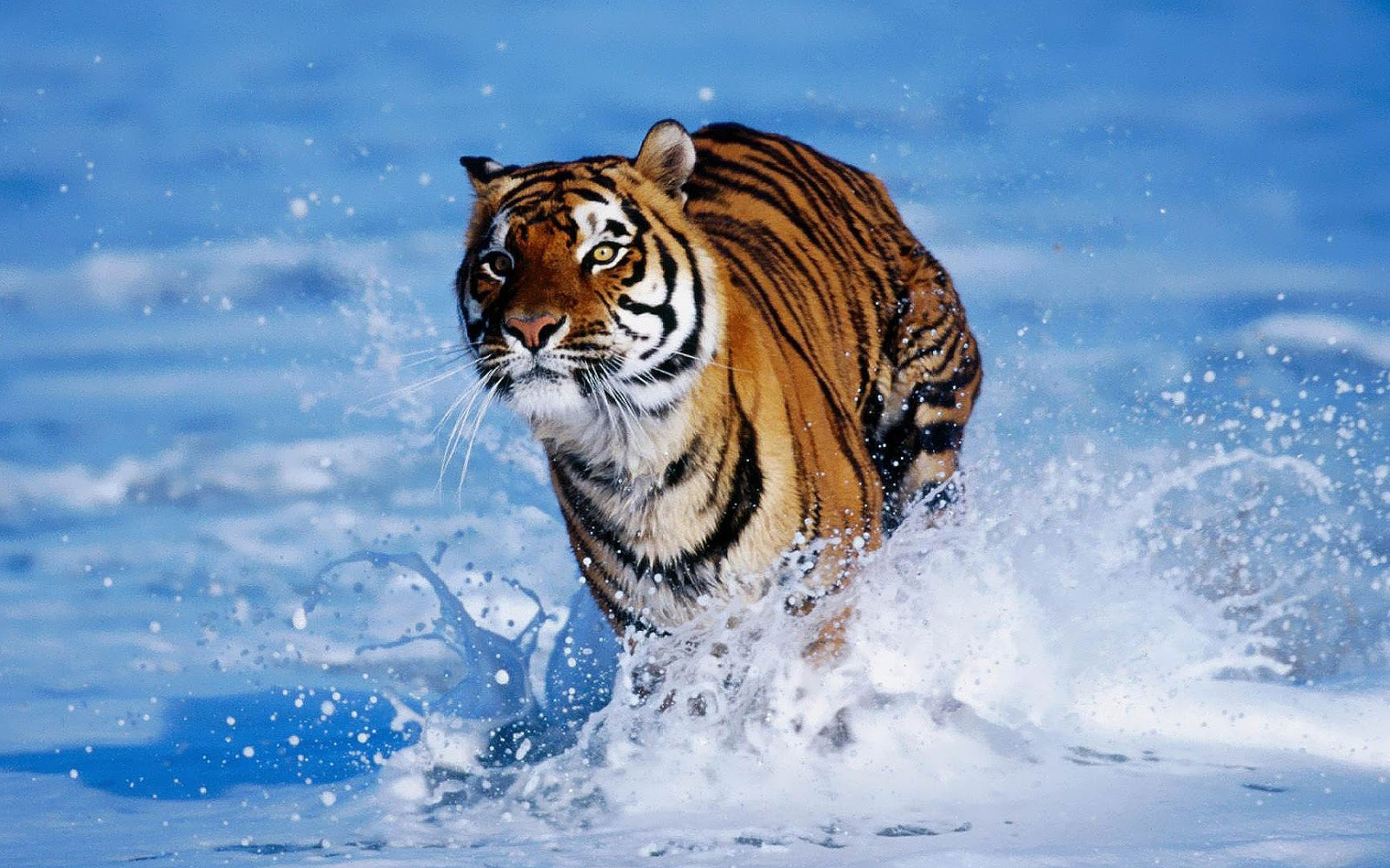 tiger running on water image hd wallpaper | wallpaperlepi