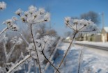 frozen white flowers