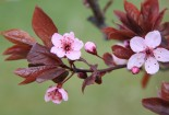 Cherry Flower Blossom and Leaves Wallpaper