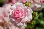 cute-pink-rose-with-rosebuds