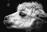 ruminant-mammal-alpaca
