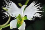 Natural and White Plant Of The Holy Spirit
